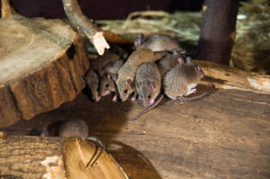 A perfect rodent control by Hunting Pest Services in